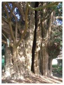dundon church yew bordered